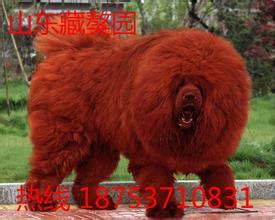 藏獒为何要主人喂它吃?揭秘成年藏獒一天吃多少