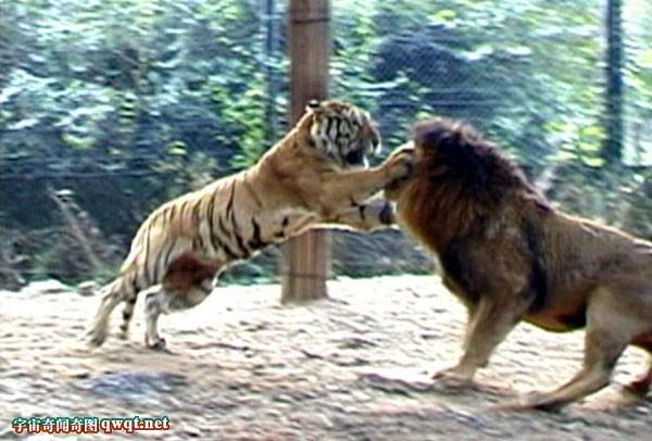 狮子大战鬼獒_