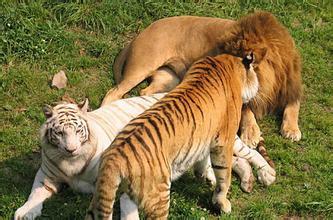 狮子大战鬼獒_世界上战斗力最强的狗鬼獒与狮子大战今日