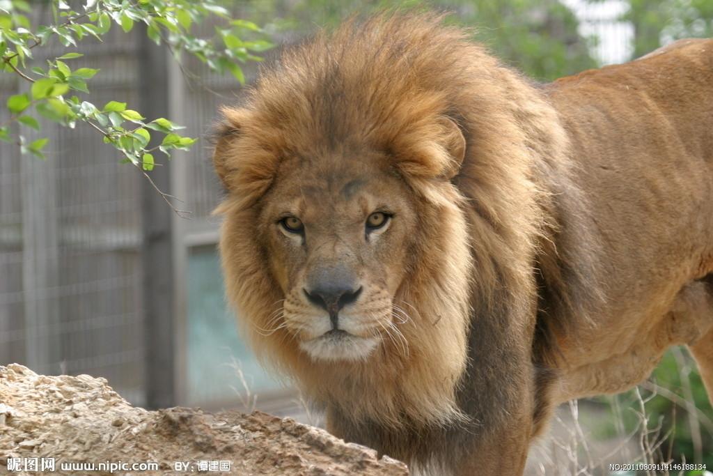 大猩猩与狮子打架视频,动物世界狮子与大猩猩