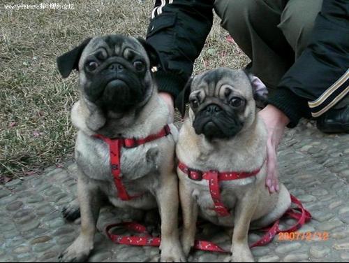 草狗与宠物狗有咐区别,哪种宠物狗便宜好养值得入手?