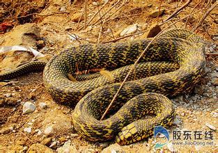 森蚺生性喜水,通常栖息在泥岸或者浅水中图片