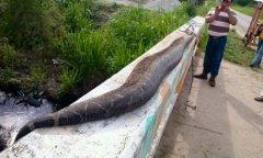 村民打死7.6米巨蟒,四川发现巨蟒50多米长,实拍农妇被巨蟒吞食图