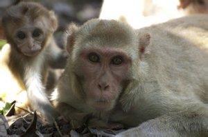 猴子恔配视频,人和猴子杂交能生育吗,动物杂交猴子 ...