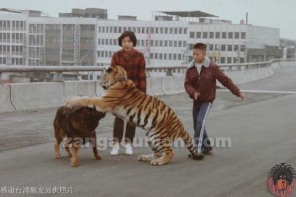 藏獒被老虎咬死图片 藏獒和狮子打架视频