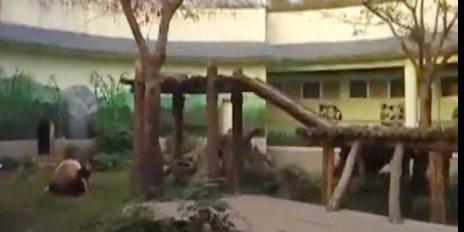 南昌动物园男子和大熊猫扭打人熊大战视频图片,无辜熊猫美灵被揍