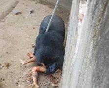 游客喂熊被拖走撕咬全过程惨烈视频,男子怎么被救血肉模糊还没死